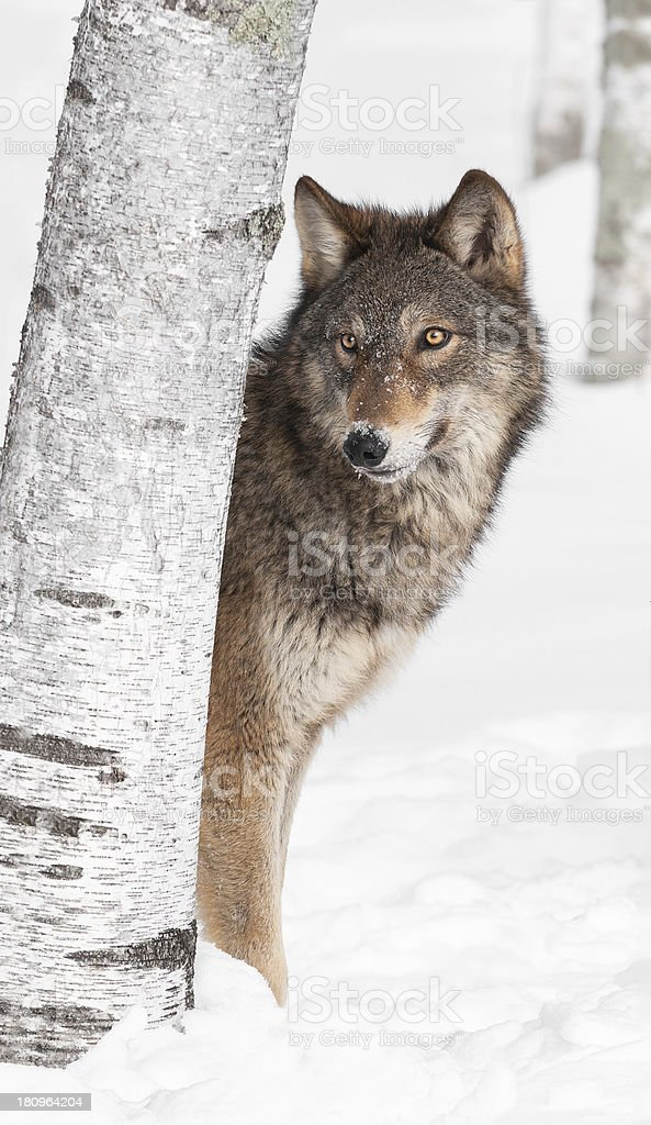Grey Wolf (Canis lupus) Peeks from Behind Birch Tree stock photo
