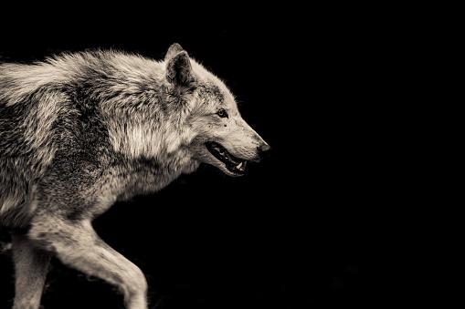 Walking Grey Wolf