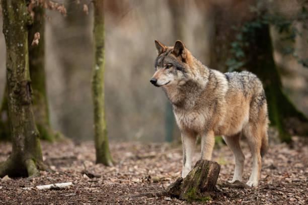 grå varg - wolf bildbanksfoton och bilder