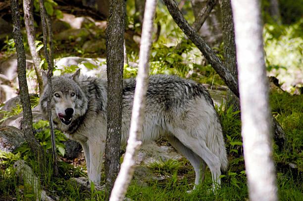 Grau Wolf – Foto