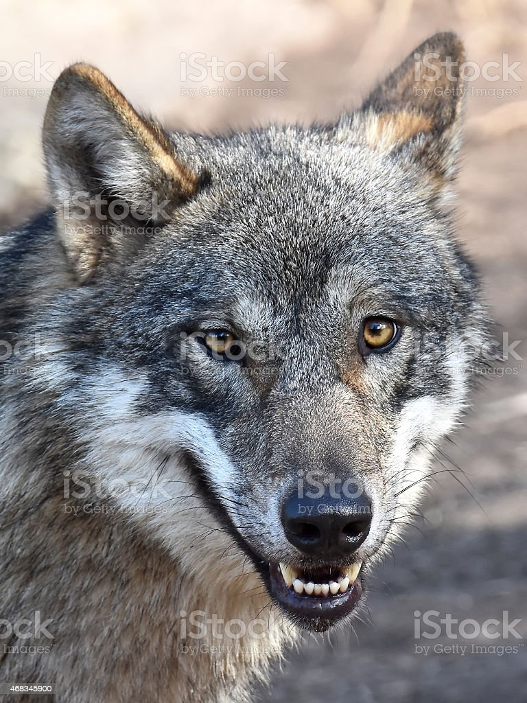 Grey Wolf (Canis lupus) royalty-free stock photo