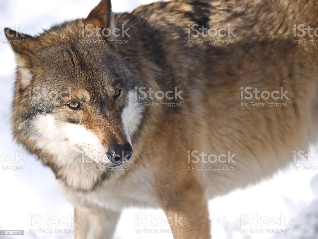 Grey wolf royaltyfri bildbanksbilder