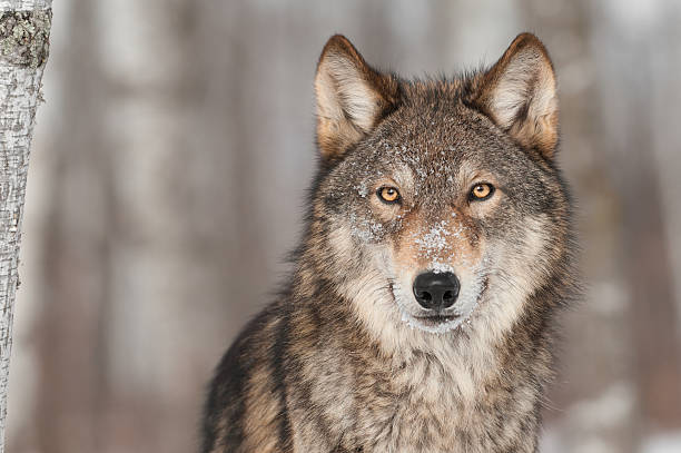 loup gris (canis lupus) portrait - faune sauvage photos et images de collection
