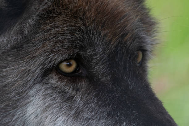 grey wolf portrait with yellow eyes - lupo foto e immagini stock