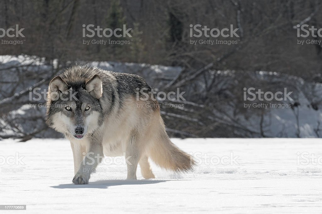 Grey Wolf (Canis lupus) Prowls on Riverbed stock photo