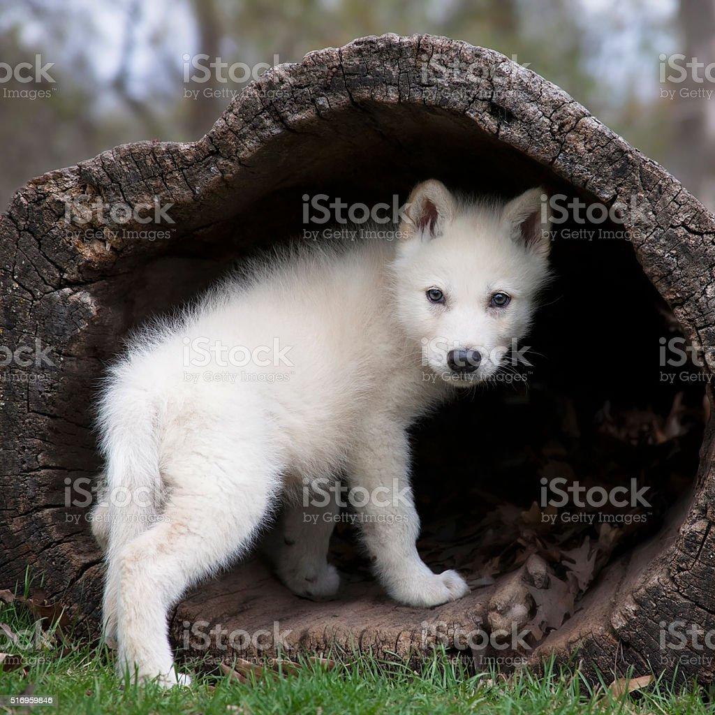 Grey wolf pup stock photo