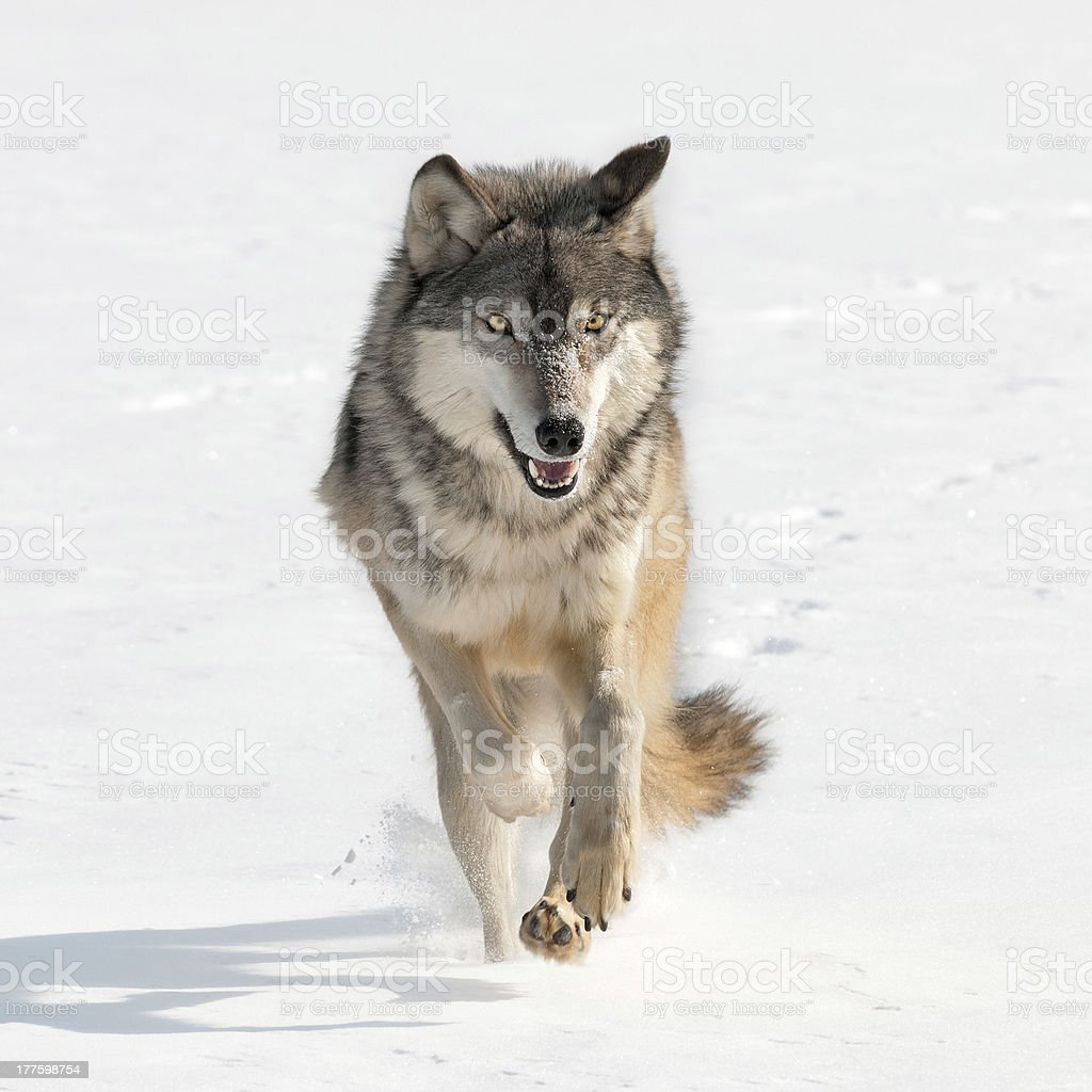 Grey Wolf (Canis lupus) running at viewer stock photo