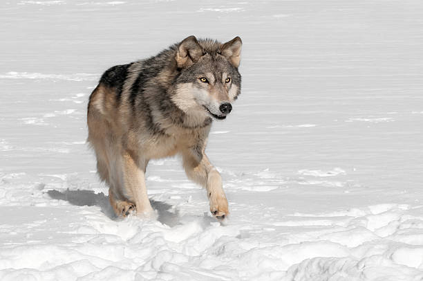 Grey Wolf (Canis lupus) Runs along in Snow stock photo