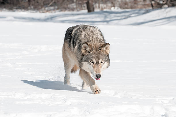Grey Wolf (Canis lupus) Runs Along Snowy Riverbed Tongue Out stock photo