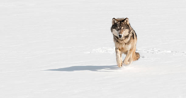 Grey Wolf (Canis lupus) Runs at Viewer on Snowy Riverbed stock photo