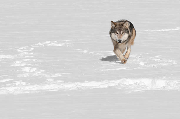 Grey Wolf (Canis lupus) Runs at Viewer stock photo
