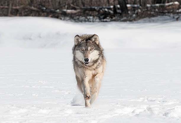 Grey Wolf (Canis lupus) Runs Directly at Viewer stock photo