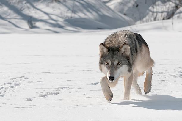 grey wolf (canis lupus) stalks forward - varg bildbanksfoton och bilder