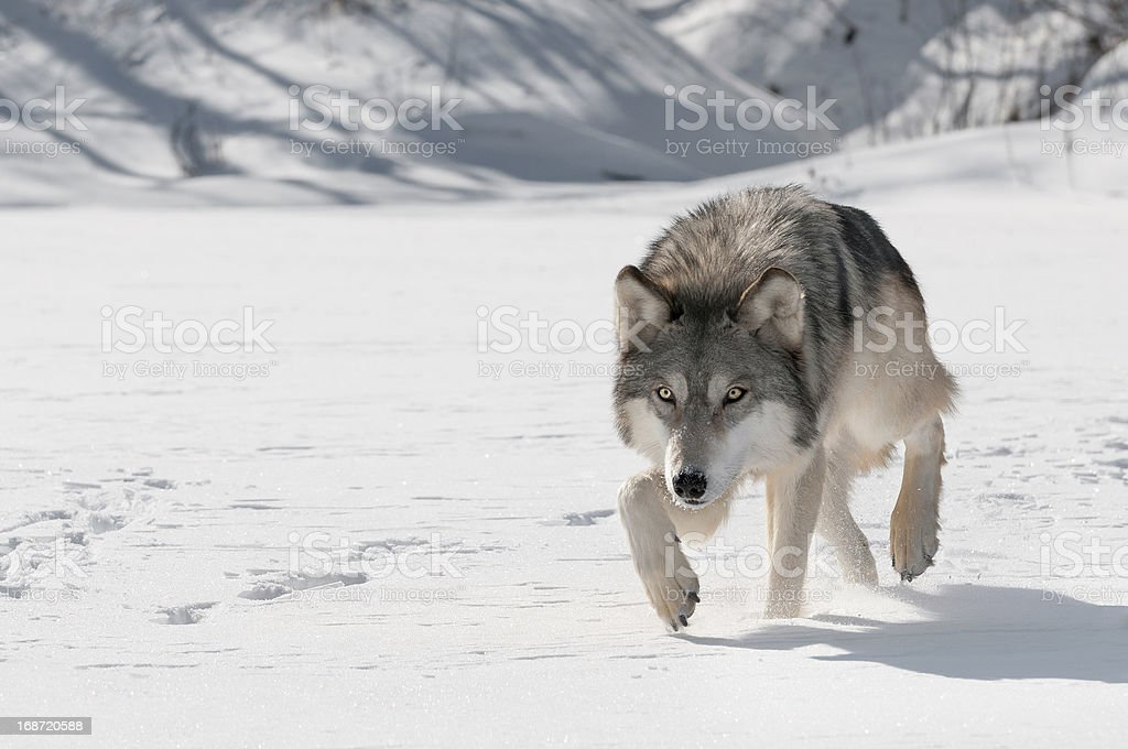 Grey Wolf (Canis lupus) Stalks Forward stock photo
