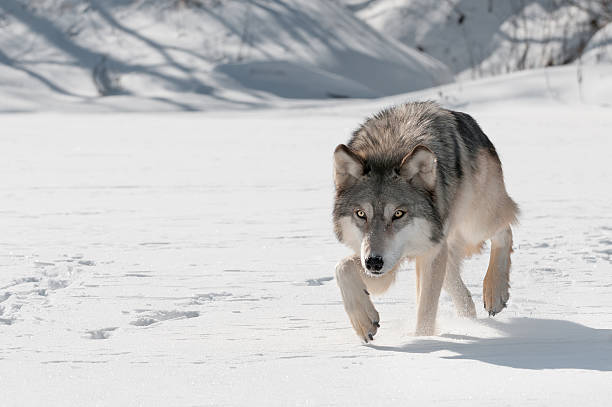 Grey Wolf (Can lupus) Stalks adelante - foto de stock
