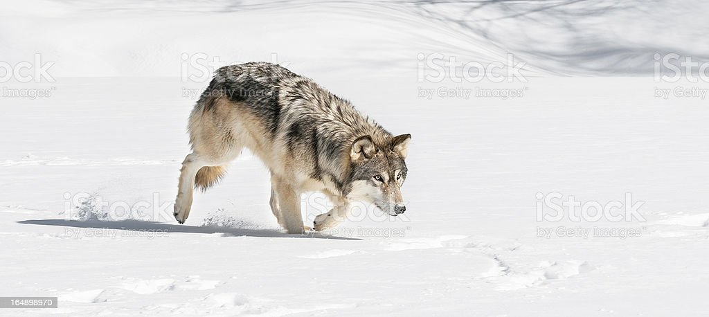 Grey Wolf (Canis lupus) Stalks Right Through Snow stock photo