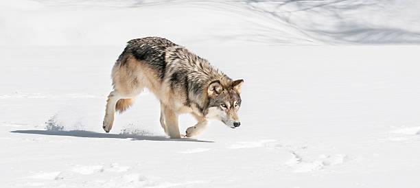 Grey Wolf (Canis lupus) Stalks Right Through Snow stock photo