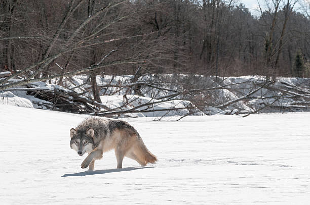 Grey Wolf (Canis lupus) Stalks Viewer on Riverbed stock photo