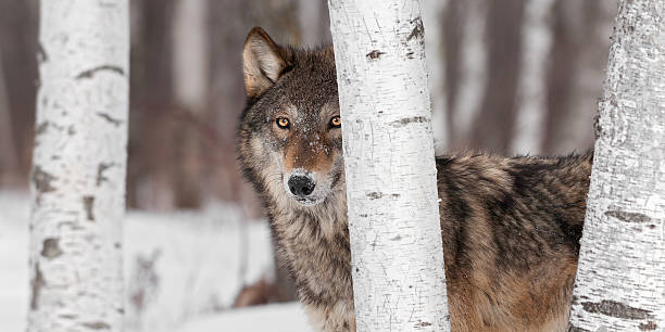 Grey Wolf (Canis lupus) Stands Amongst Trees stock photo