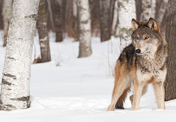 Grey Wolf (Canis lupus) Stands Between Trees stock photo