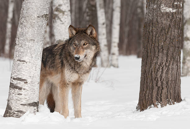 Grey Wolf (Canis lupus) Stands in Treeline stock photo