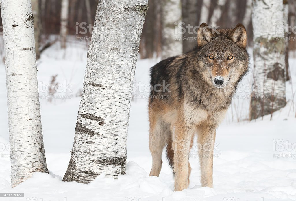 Grey Wolf (Canis lupus) Stands Near Birch Trees stock photo