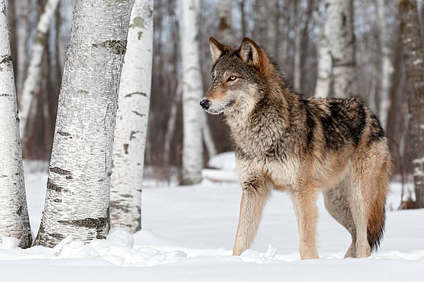 Grey Wolf (Canis lupus) Stands Towards Left stock photo