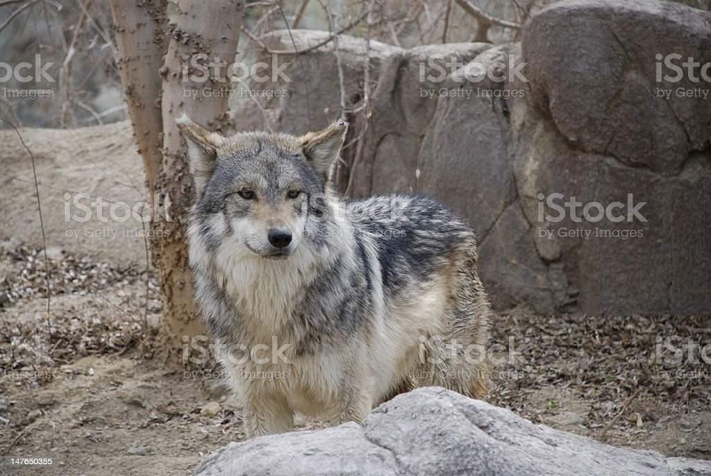 Grey Wolf Staring stock photo
