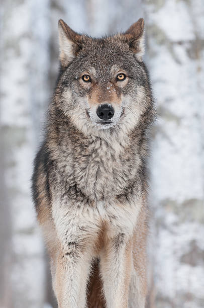Grey Wolf (Canis lupus) Straight On stock photo