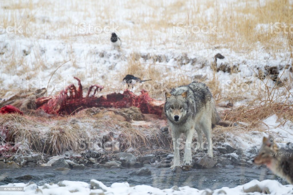 Grey Wolf walking away from His Feed. stock photo