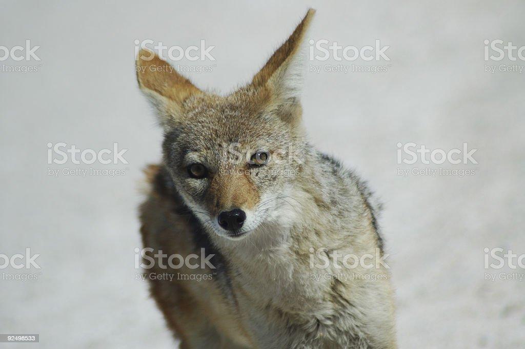 greyback fox in Etosha royalty-free stock photo