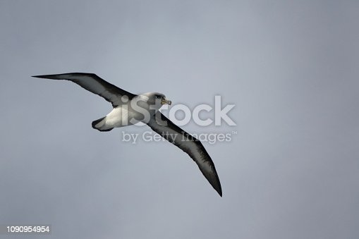 Cruising the open seas in the Drake Passage, a grey-headed albatross with over a seven foot wingspan searches for food in the massive Atlantic Ocean just north of Antarctica.