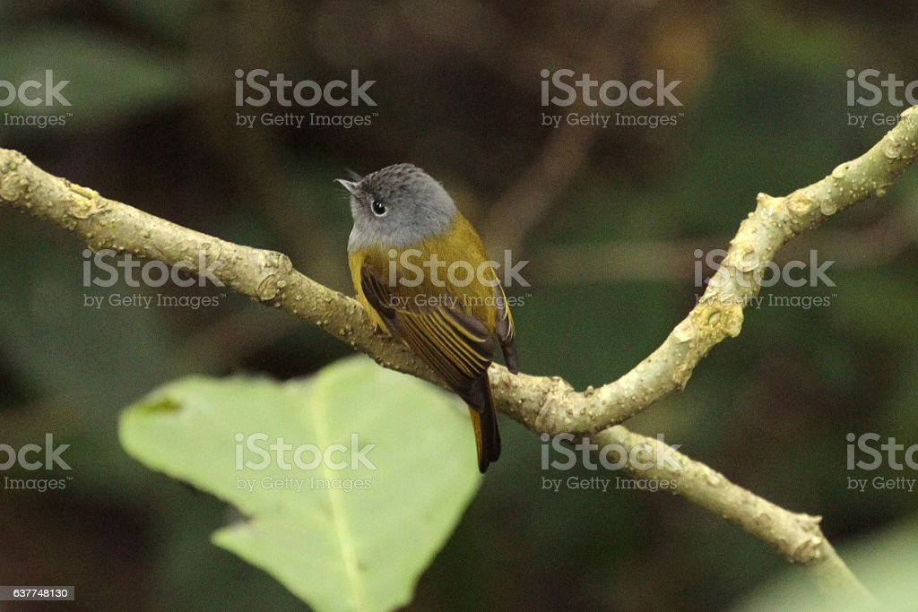 Grey-headed canary flycatcher (Culicicapa ceylanesis) in the Western Ghats, India stock photo