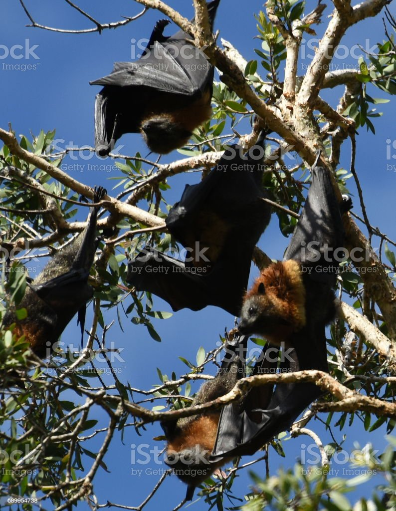 Grey-Headed Flying Foxes stock photo