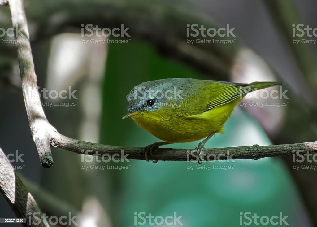 Grey-hooded warbler stock photo
