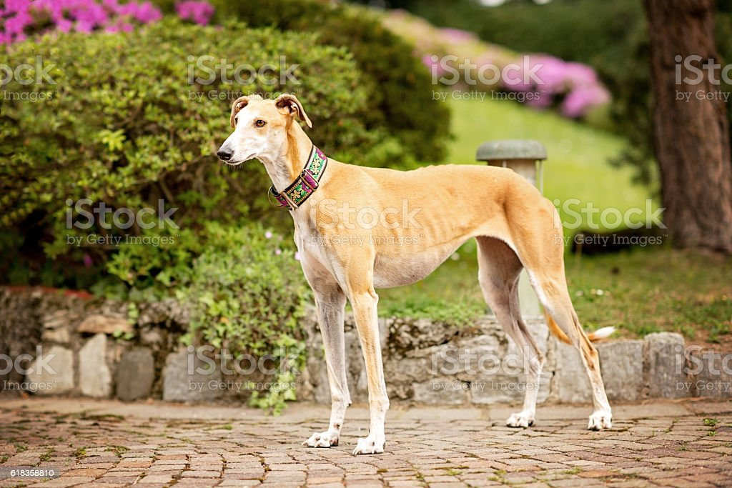 Greyhound (Canis familiaris), adult standing stock photo