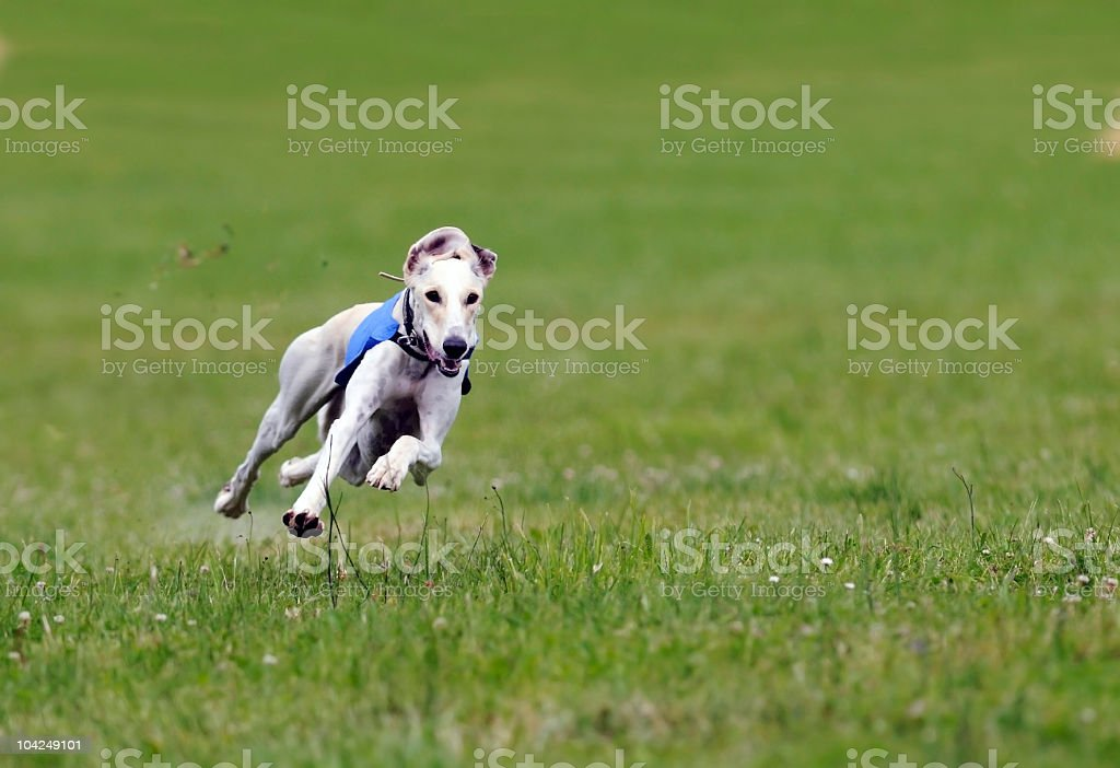 Greyhound at full speed stock photo