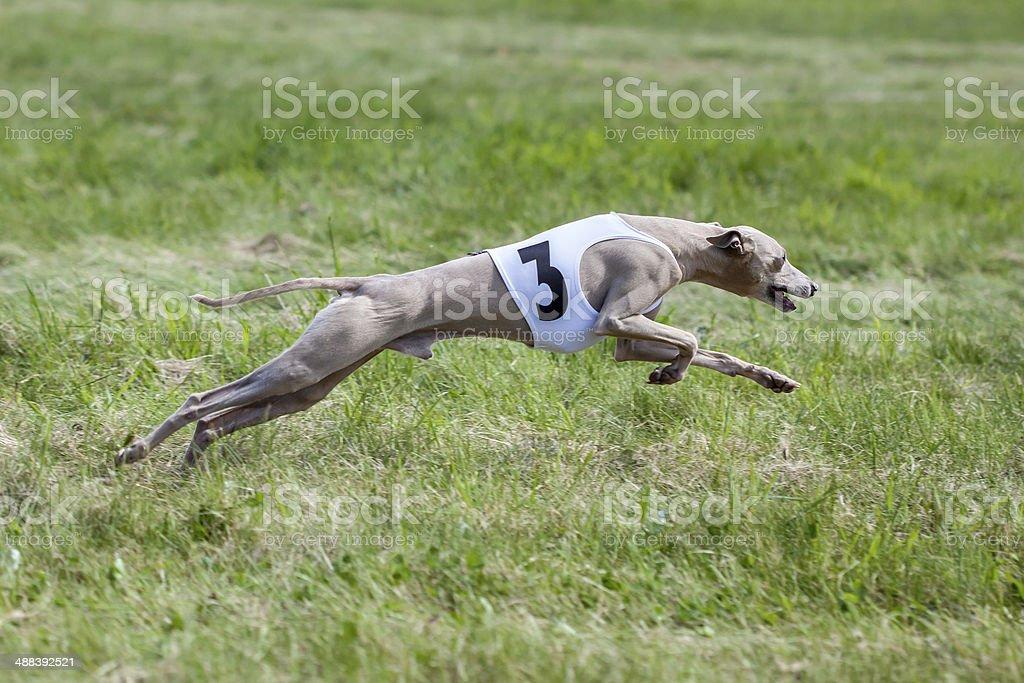 Greyhound coursing stock photo