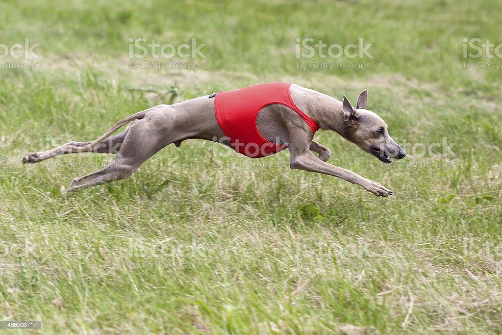 Greyhound coursing royalty-free stock photo