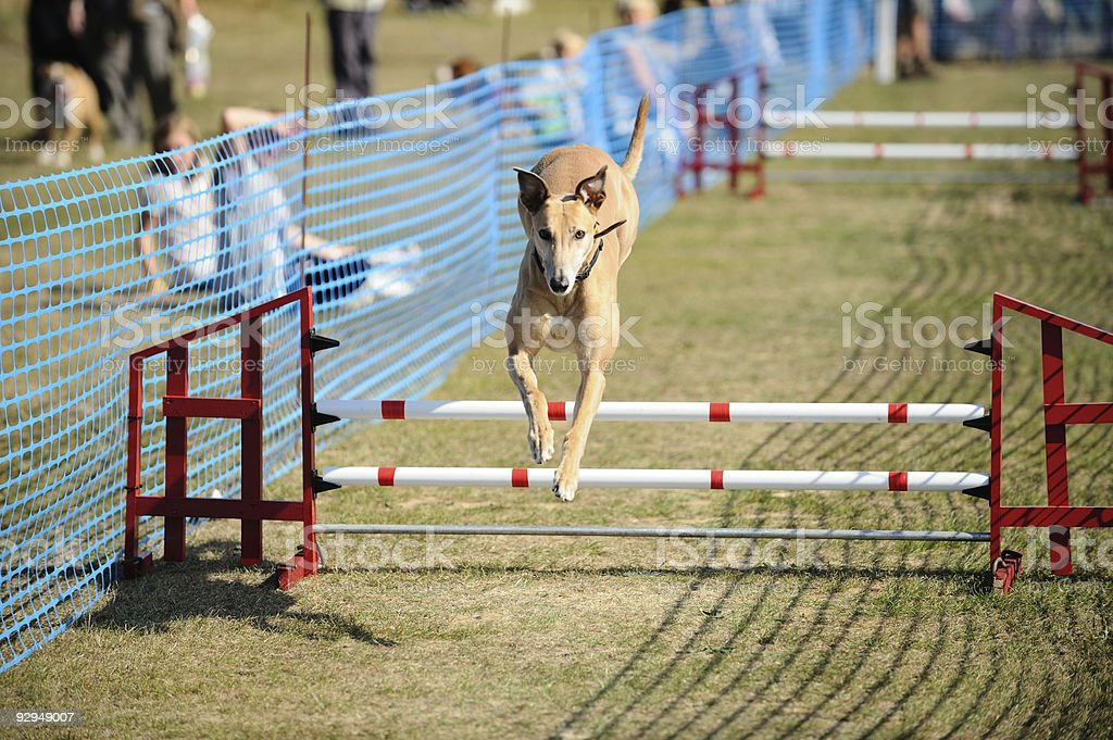 Greyhound, demonstrating agility by jumping over hurdle at dog show royalty-free stock photo