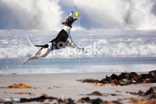 Greyhound dog catching tennis ball on the beach