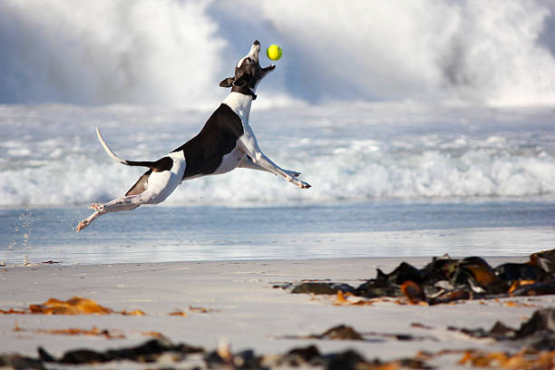 greyhound dog catching ball - dog jumping stock photos and pictures