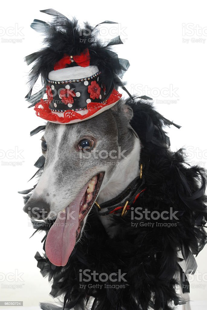 Greyhound Dog Dressed to Go Out royalty-free stock photo