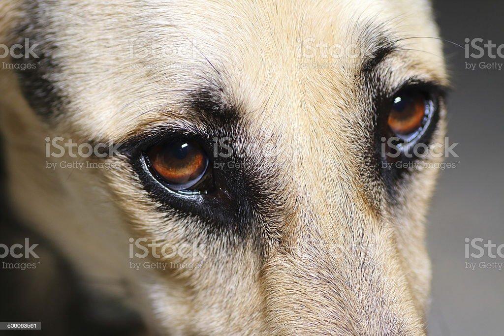 Close-up of young puppy greyhound dog animal brown eye. Dark shot in...