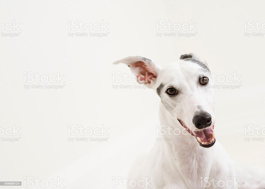 Greyhound dog on white background stock photo