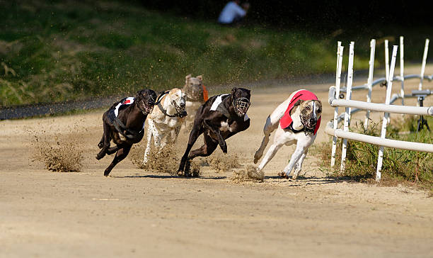 Greyhound dogs racing on sand track Greyhound dogs racing on sand track sight hound stock pictures, royalty-free photos & images
