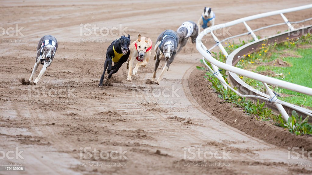Greyhound dogs racing stock photo
