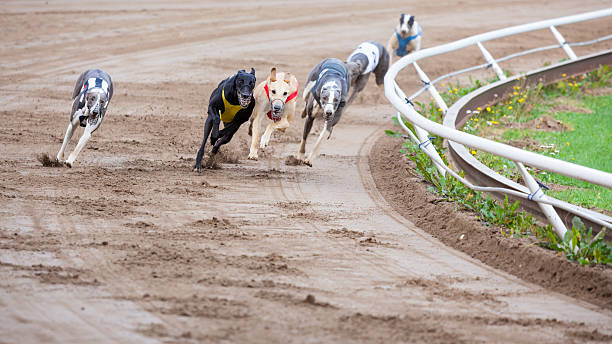 Greyhound dogs racing Greyhound dogs racing on sand track sight hound stock pictures, royalty-free photos & images