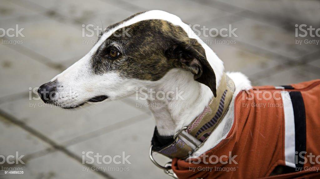 Greyhound in street stock photo