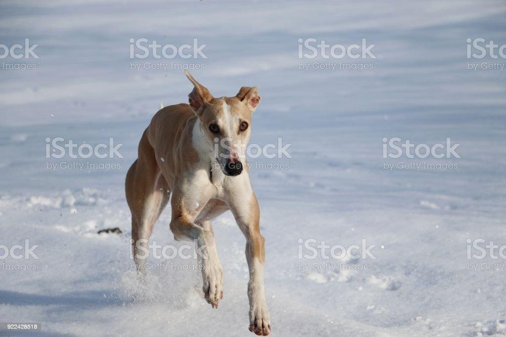 windhund im schnee stock photo
